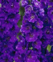 Delphinium, Hybrid-purple