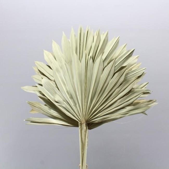 Dried Natural Fan Palm Florabundance Wholesale Flowers