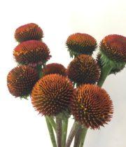 Echinacea, Coneflower Pods