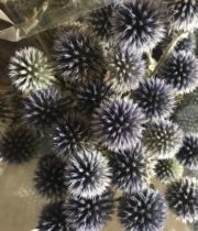 Echinops, Thistle-blue