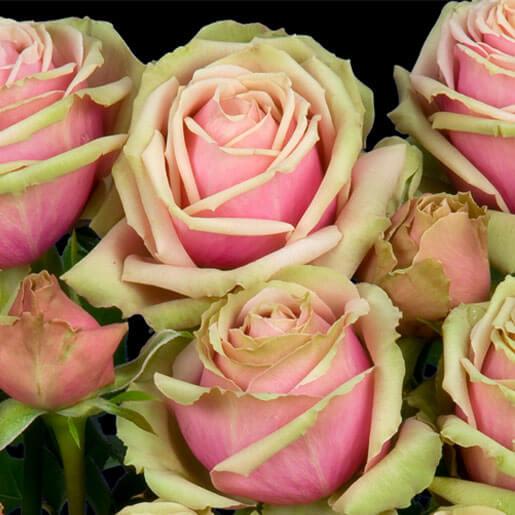 Eden Romantica Rose