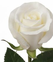 Rose, Escimo-SA