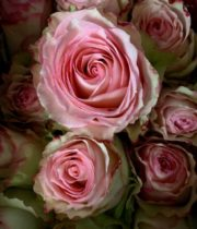 Rose, Esperance-SA