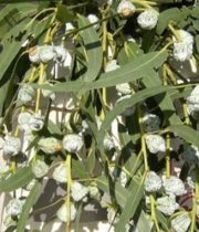 Eucalyptus, Silver Bell