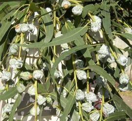 Eucalyptus_SilverBell wholesale