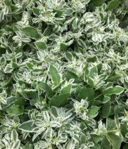 Euphorbia, Snow On The Mountain