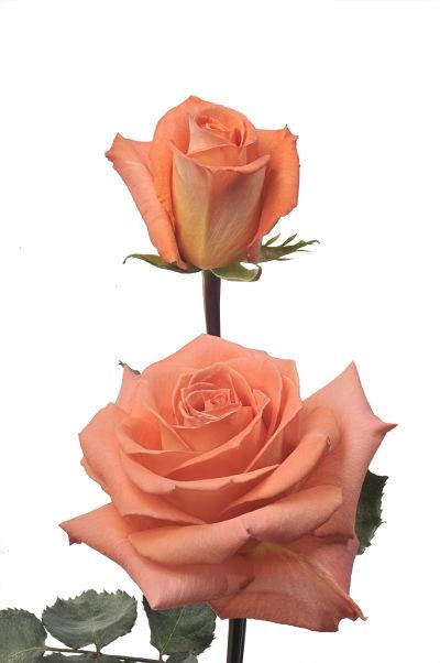 wholesale flowers   rose exotica