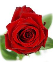 Rose, Explorer-SA