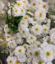 Feverfew, Daisy Double-white