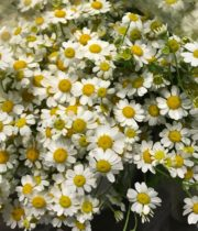 Feverfew, Daisy-white