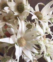 Flannel Flower-white W/green