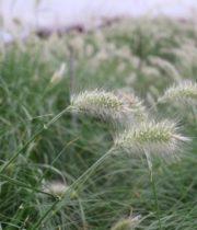 Fountain Little Bunny Grass