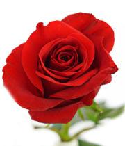 Rose, Freedom-SA