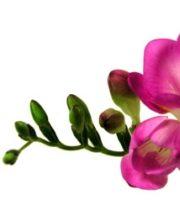 Freesia-hot Pink