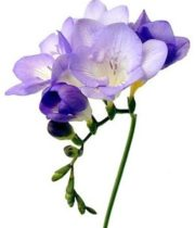 Freesia-lavender