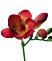 Freesia-red