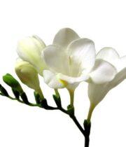 Freesia-white