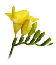 Freesia-yellow