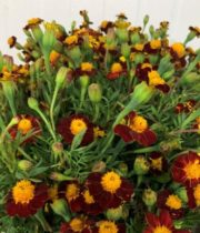 Marigolds, French-orange/red Bicolor