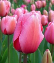 Tulips, French-hot Pink