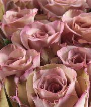 Beige/Lavender Hypnose Roses