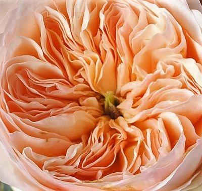 wholesale flowers | garden rose juliet
