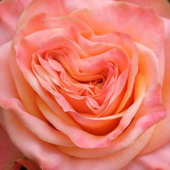 wholesale flowers | garden rose lovely hearts