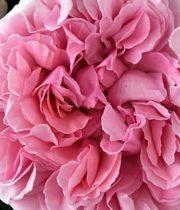 Light Pink Miranda Garden Roses, CA