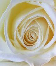 White Alba 50cm Roses, SA