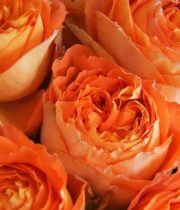 Rose Garden, Orange Romantica-CA