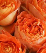 Rose Garden, Orange Romantica-CA