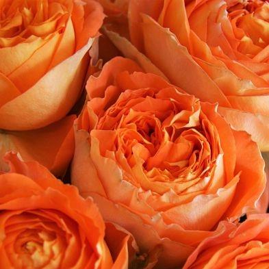 wholesale flowers   garden rose romantica