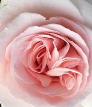 Blush Prince Jardinier Garden Roses, CA