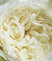 Rose Garden, Patience-SA