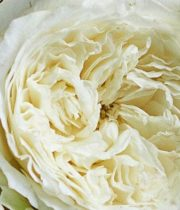 White Patience Garden Roses