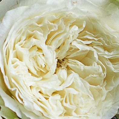 wholesale flowers | garden rose  patience