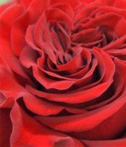 Wanted Garden Rose, SA