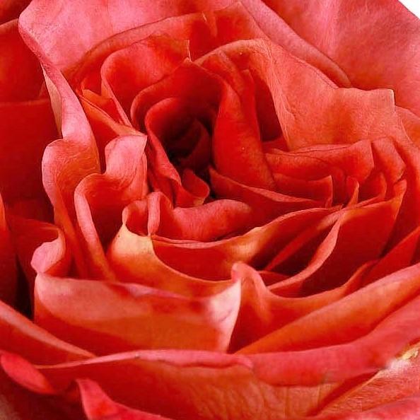 wholesale flowers | garden rose wild spirit