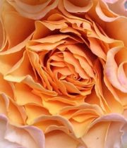 Rose Garden, Peach Campanella-SA