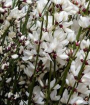 Ginestra-white