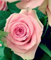 Rose, Geraldine-SA