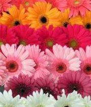 Gerberas-assorted (40 Stems)