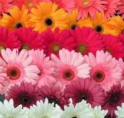 wholesale gerbera_daisy assorted