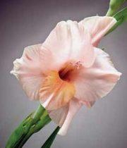 Gladiolus-peach