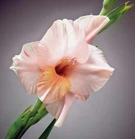 wholesale flowers | gladiolus peach