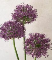 Allium, Gladiator-purple