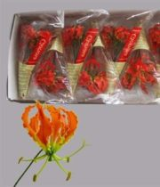 Gloriosa Lily, Short-orange