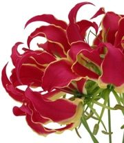 Gloriosa Lily, Tall-red