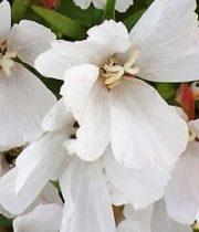Godetia-white