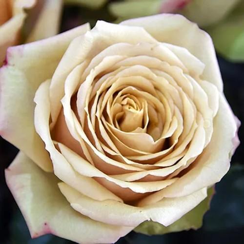 Golden Mustard Rose